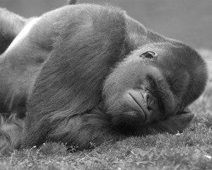 Sleeping_Gorilla